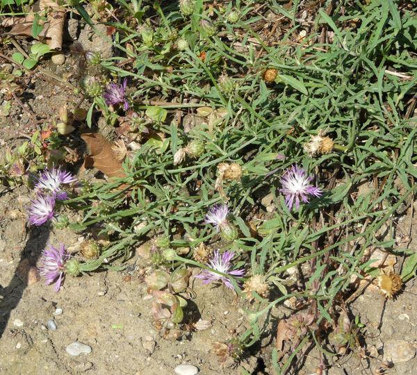 Centaurea napifolia L.