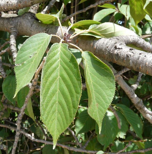 Prunus serrulata Lindl. 'Sato Zakura'