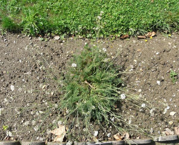 Seseli montanum L. subsp. montanum