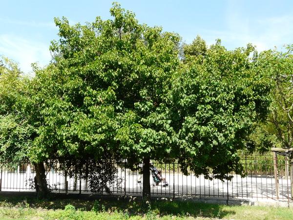 Prunus armeniaca L.