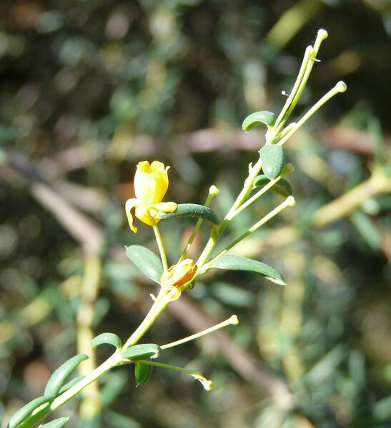 Berberis x stenophylla Lindl.