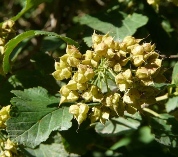 Physocarpus intermedius (Rydb.) C.K. Schneid.