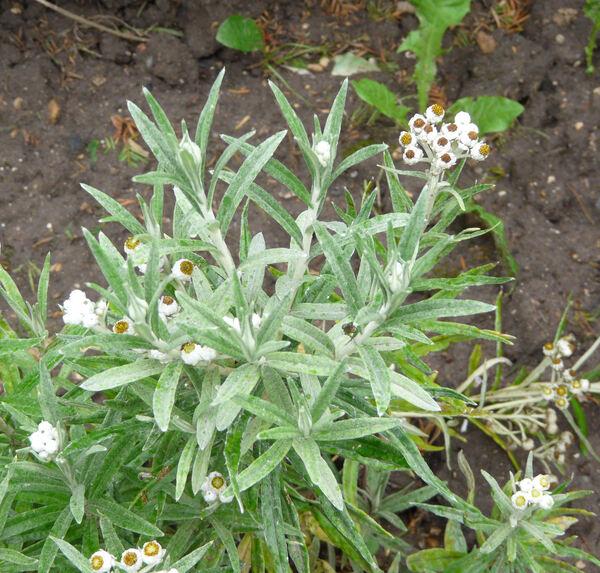 Helichrysum margaritaceum (L.) Moench