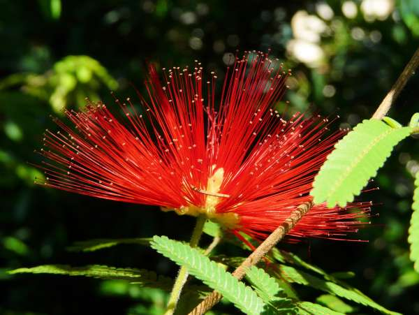 Calliandra twedii Benth.
