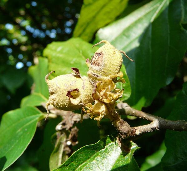 Parrotia persica (DC.) C.A.Mey.