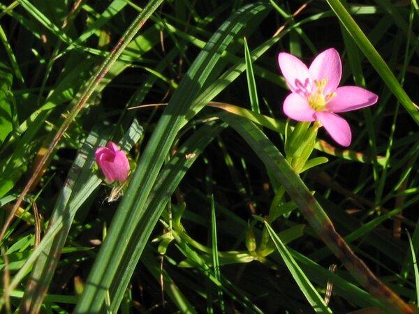 Centaurium littorale (Turner) Gilmour subsp. littorale