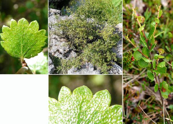 Betula nana L. subsp. nana