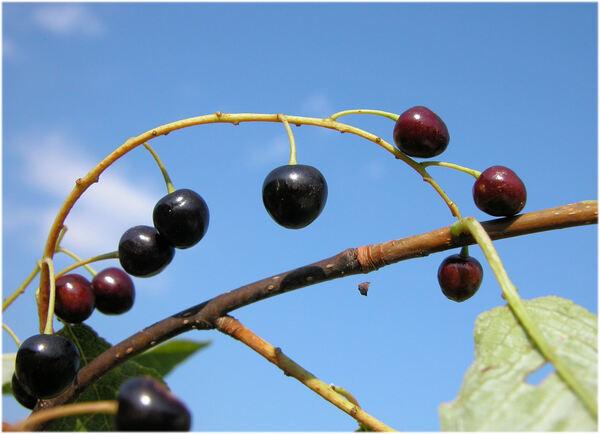 Prunus padus L. subsp. padus