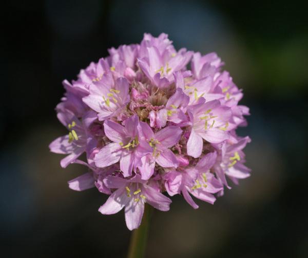 Armeria arenaria (Pers.) Schult. subsp. apennina Arrigoni