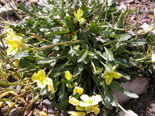 Brassica repanda (Willd.) DC.