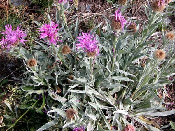 Centaurea uniflora Turra