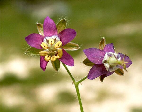 Geranium reflexum L.