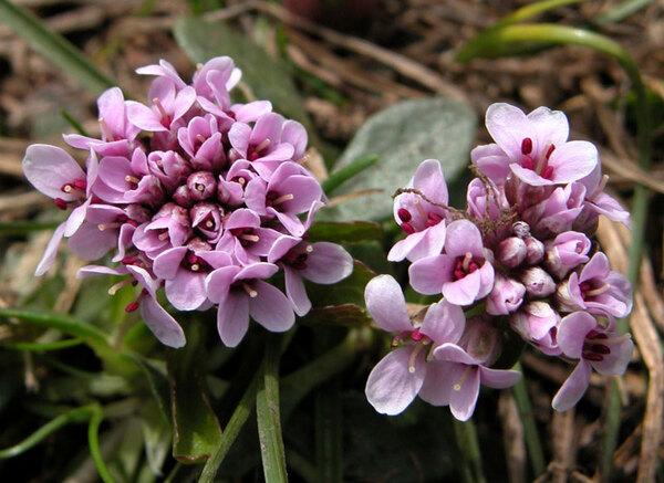 Noccaea stylosa (Ten.) Rchb.