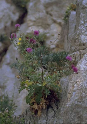 Centaurea tyrrhena C.Brullo, Brullo & Giusso