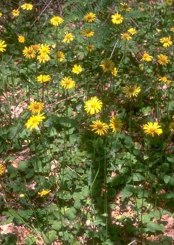 Doronicum orientale Hoffm.
