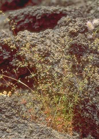 Galium divaricatum Lam.