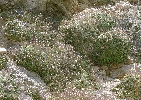 Limonium lopadusanum Brullo