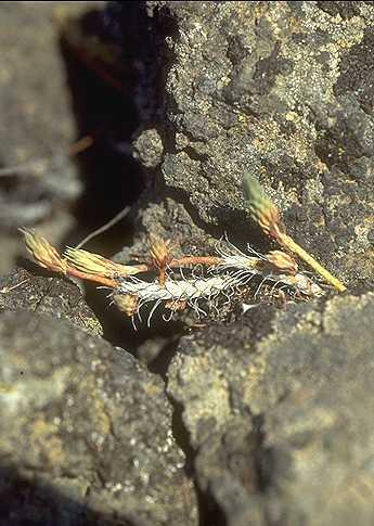 Petrosedum tenuifolium (Sm.) Grulich