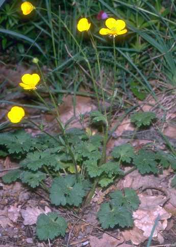 Ranunculus neapolitanus Ten.