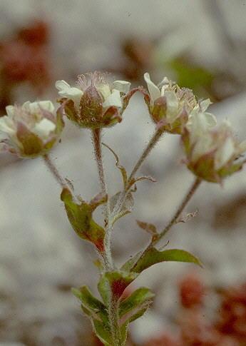 Potentilla caulescens L. subsp. nebrodensis (Strobl ex Zimmeter) Arrigoni