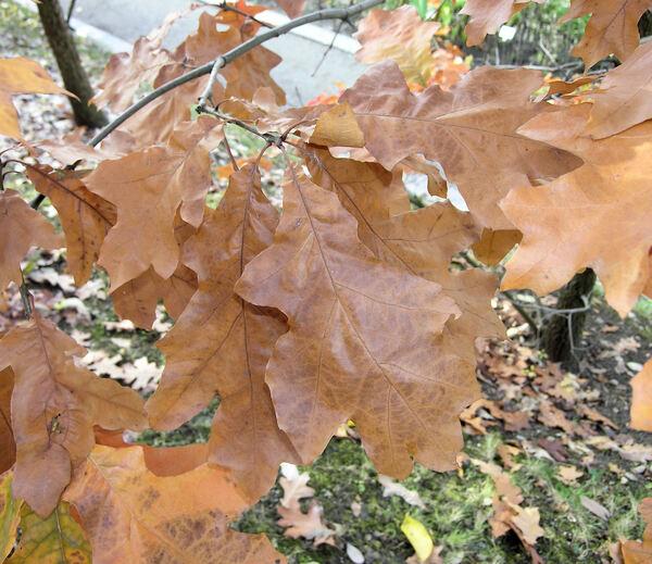 Quercus alba L.