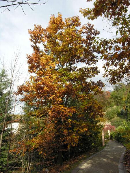 Quercus rubra L.