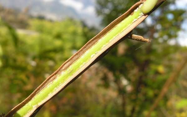 Euonymus phellomanus Loesener