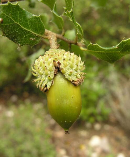 Quercus coccifera L.