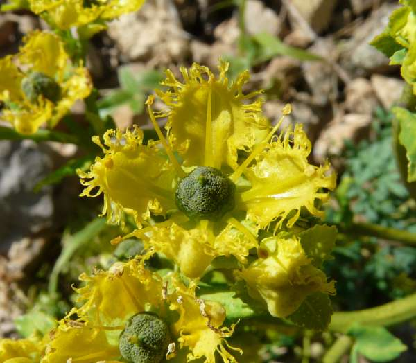 Ruta angustifolia Pers.