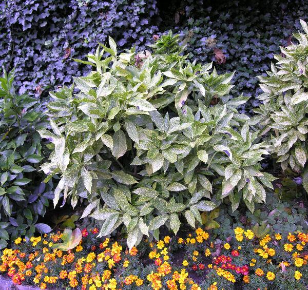 Aucuba japonica Thunb.