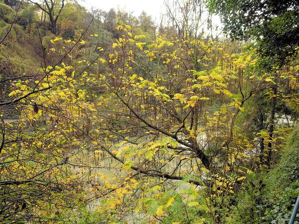 Pterocarya fraxinifolia (Lam.) Spach