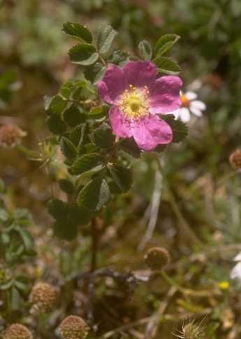 Rosa heckeliana Tratt.