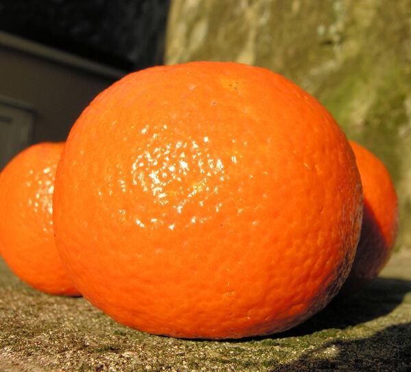 Citrus x clementina hort. ex Tan.