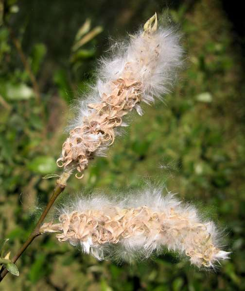Salix atrocinerea Brot. subsp. atrocinerea