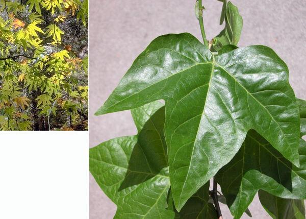 Platanus occidentalis L.