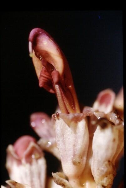 Lathraea clandestina L.