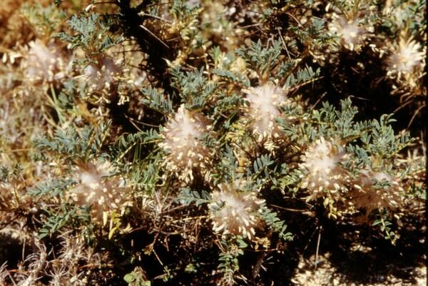 Astragalus parnassi Boiss. subsp. calabricus (Fisch.) Maassoumi