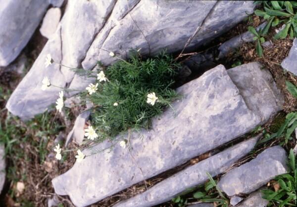 Achillea barrelieri (Ten.) Sch.Bip. subsp. mucronulata (Bertol.) Heimerl