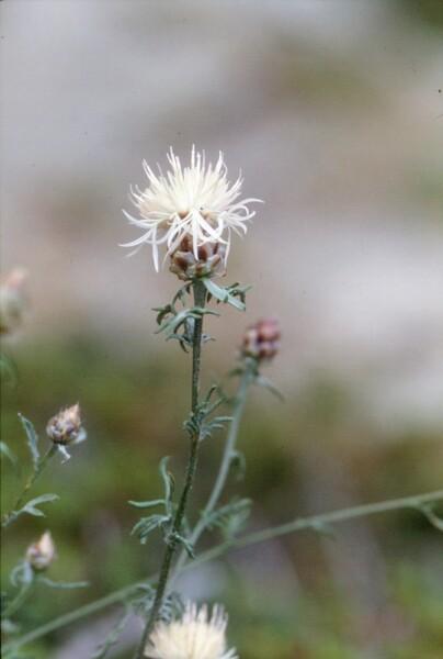 Centaurea poeltiana Puntillo