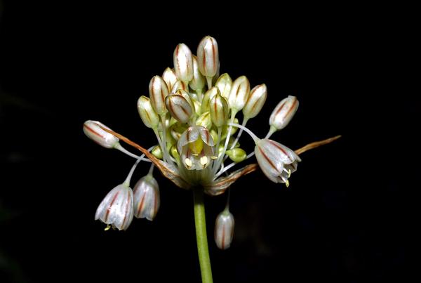 Allium paniculatum L.