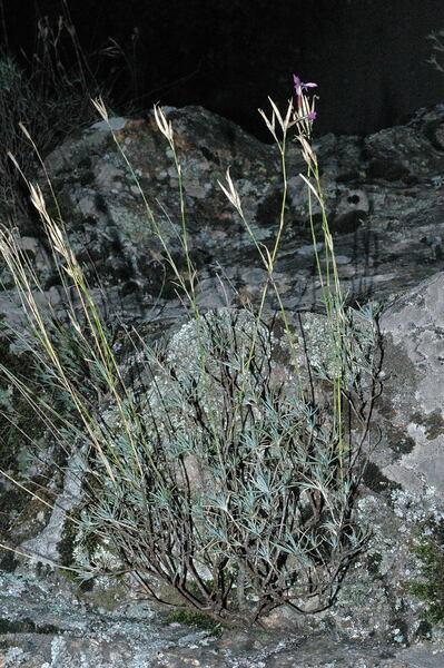 Dianthus lusitanus Brot.
