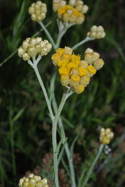 Helichrysum stoechas (L.) Moench subsp. stoechas