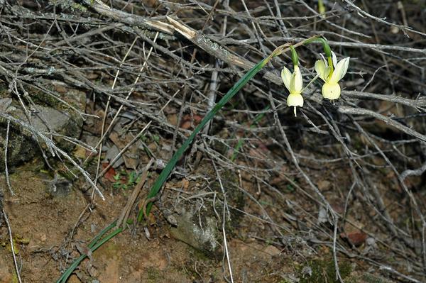 Narcissus triandrus L. subsp. pallidulus (Graells) Rivas Goday ex Fern. Casas