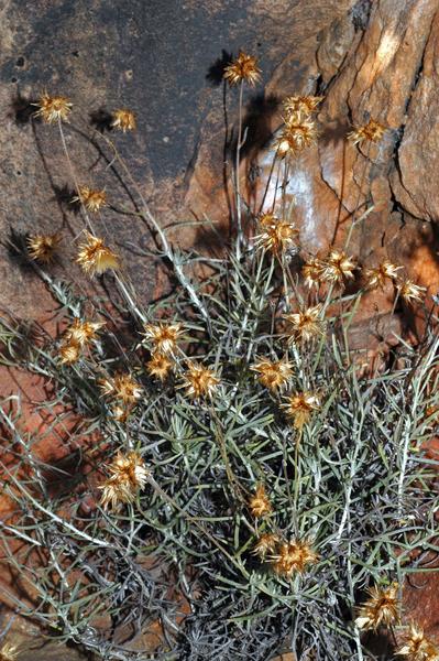 Phagnalon sordidum (L.) Rchb.