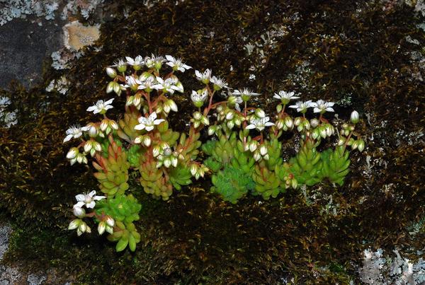 Sedum hirsutum All. subsp. hirsutum