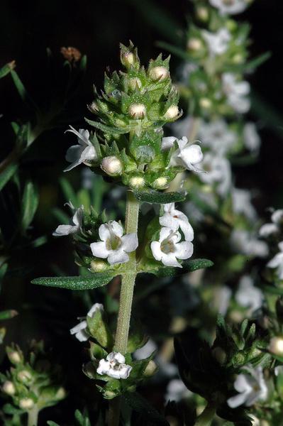 Thymus zygis L.