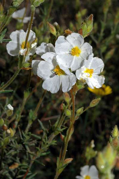 Halimium umbellatum (L.) Spach var. viscosum Willk.