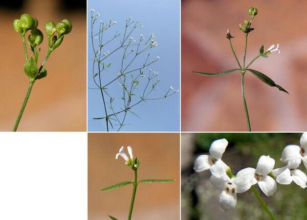 Asperula tinctoria L.