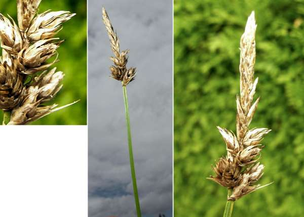 Carex disticha Huds.