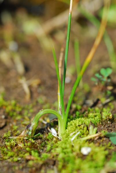 Romulea ramiflora Ten. subsp. ramiflora